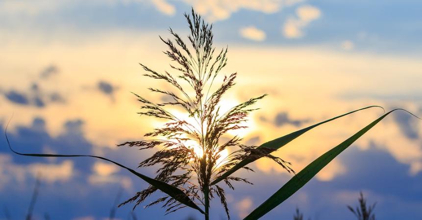 Eine straff aufrechte Pflanze die die direkte Sonne benötigt.
